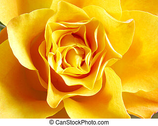 yellow rose - close up photo of yellow rose bud...