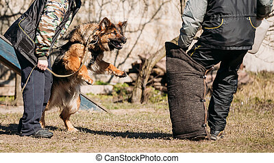 German Shepherd Dog Training. Biting Alsatian Wolf Dog.