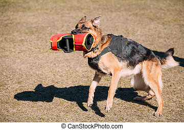 German Shepherd Dog Training. Biting Alsatian Wolf Dog....