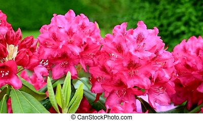 Azalea in the wind. - Red azalea bush at bright day .Azalea...