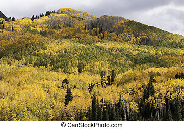 Aspen near Kebler Pass Colorado - Kebler Pass is located in...
