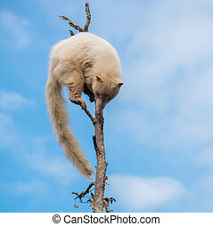White coati on a tree - Cute white coati climbing on a tree