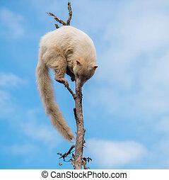 blanco, coati, en, Un, árbol,