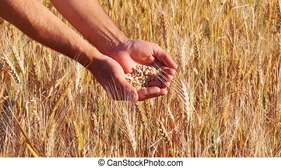 Wheat Grain in a Farmer Hands - Man Farmer Hands with Wheat...