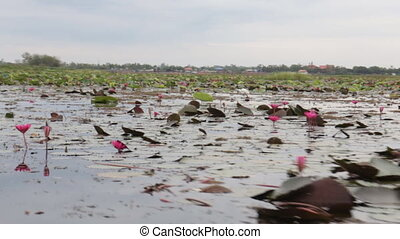 White egret in pink lotus lake