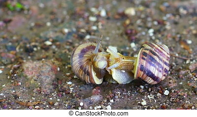 Snail Couple Make Love - Snail Couple Snail Lovers Snail...