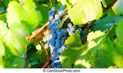 Ripe Grapes Ready for Harvest - Vineyard at Sunset Ripe...