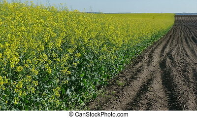Rapeseed field in spring, zoom in - Oil rape, canola plants...