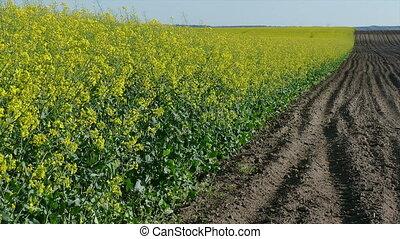 Rapeseed field in spring, zoom in - Oil rape, canola plants...