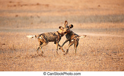 African Wild Dogs Lycaon pictus - Two African Wild Dogs...