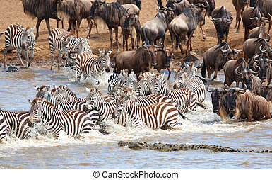 Herd of zebras (African Equids) and Blue Wildebeest...