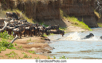 Herd of Blue Wildebeest Connochaetes taurinus crossing the...