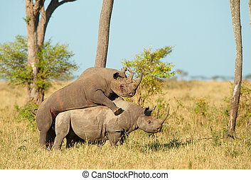 Two Large white rhinoceros mating - Two Large white...