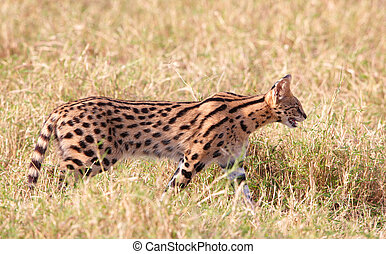 African Serval (Leptailurus serval), medium-sized African...