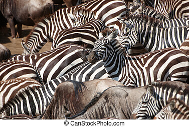 Herd of zebras African Equids and Blue Wildebeest...