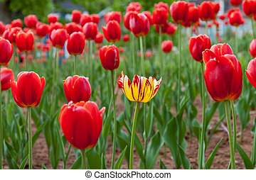 One Yellow Tulip Amongst Many Red Tulips - Stand out from...