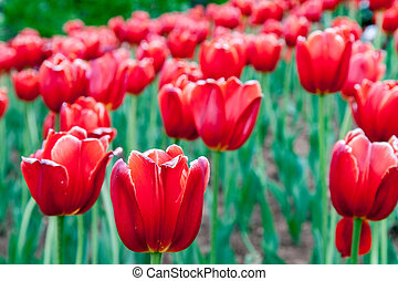 Many Bright Red Tulips - A tight group of bright red tulips
