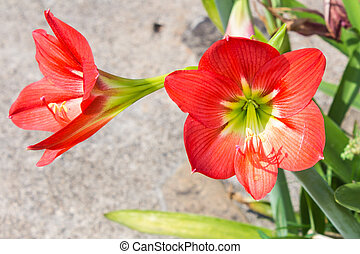 Red Multiple hippeastrum flowers