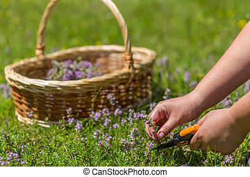 Woman hand cutting herbs growing up in meadow