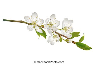 Blossoming cherry branch with white flowers. Realistic...