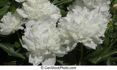 Peony white color on a summer day