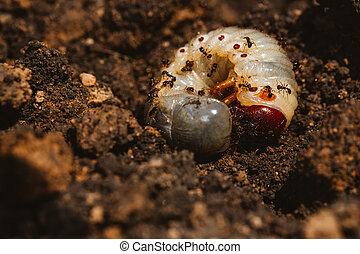The larvae of the May beetle with ants
