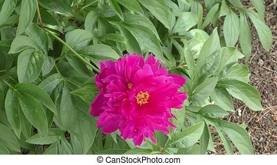 Peony Red color summer day