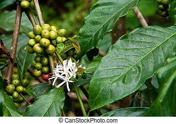 coffee plant with blossom and fruits