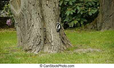 Woodpecker Picking Larvae - Adult male Great Spotted...