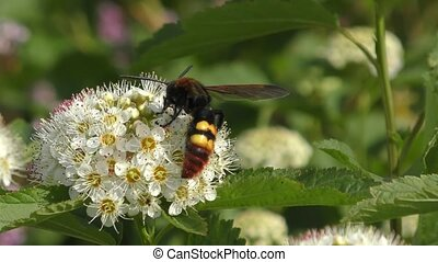Hornet collects nectar at the spring flower