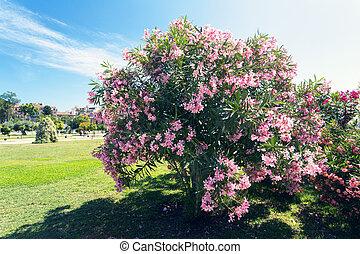 Cor-de-rosa,  bougainvillea, árvore
