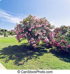 Cor-de-rosa, bougainvillea, ligado, árvore,