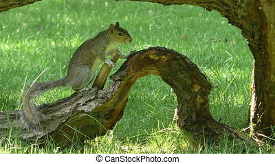Squirrel on tree branch on grass - Grey squirrel on the old...
