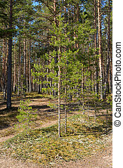 Pine tree forest - Pine tree forest at spring sunny day