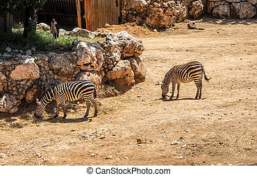 Zebras in Biblical Zoo in Jerusalem, Israel