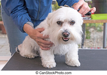 Combing the head of white Maltese dog