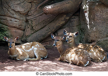 Sitatunga Antelope at the Bioparc in Fuengirola