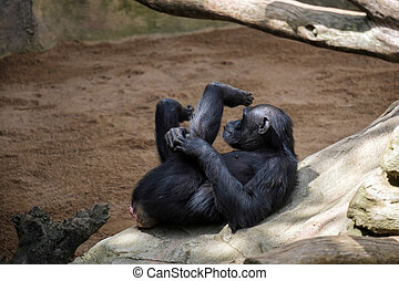 Chimpanzee resting in the Bioparc Fuengirola