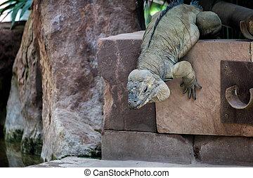 Rhinoceros Iguana (Cyclura cornuta) in the Bioparc...