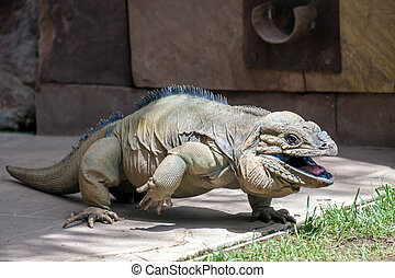 Rhinoceros Iguana (Cyclura cornuta) in the Bioparc...