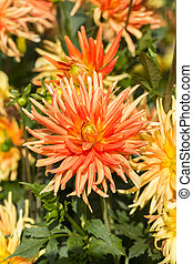fim, cima, de, amarela, e, laranja, Dahlia, flor, em,...