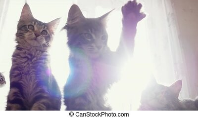 Funny Maine coon cats move their heads back and forth trough...