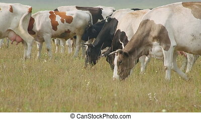 Grazing cows on meadow, with small horns, different colors, and dairy breeds.