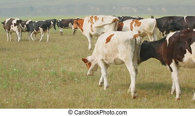 Pasturing cows of Holstein dairy breed in a meadow in Russian village.