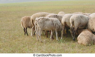 Grouped flock of sheep grazing on a summer day Sheep huddled...