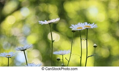 Daisies in summer breeze