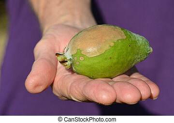 Elderly woman hand hold a Feijoa infected by blossom-end rot...