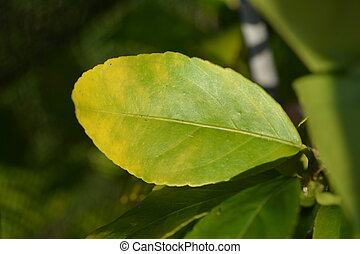 Feijoa tree leaf with magnesium deficiency - Leaf of Feijoa...