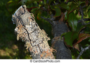 Lichen covering Peach tree - Lichen covering branches of...
