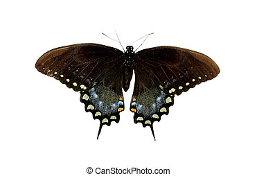 Spicebush Swallowtail butterfly isolated on white with...